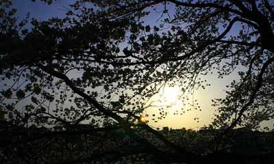 20080405_sakura_d99.jpg
