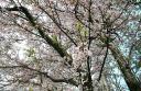 20080412_sakura_02.jpg