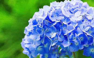 20080608_ajisai_02.jpg